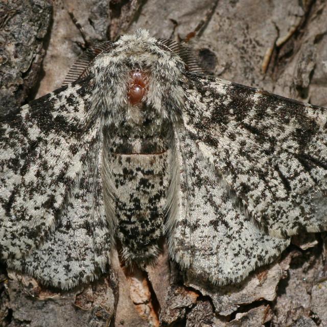 """""""Peppered Moth, Peper en zoutvlinder, Biston betularia"""" stock image"""