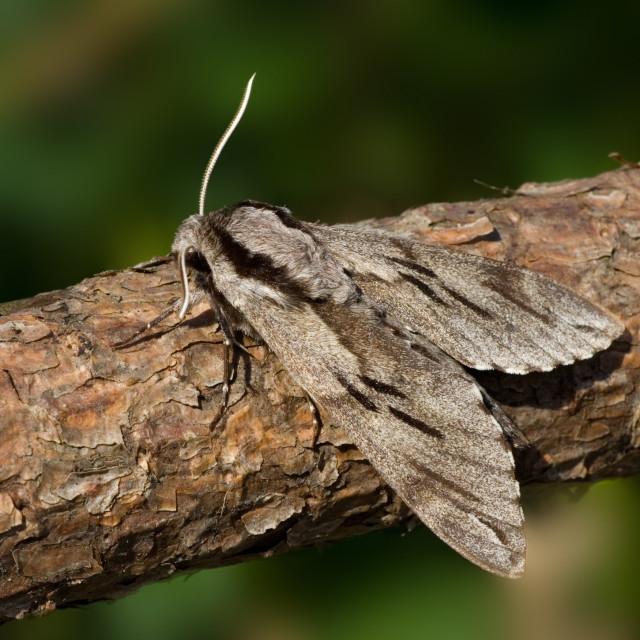 """""""Pine Hawk-moth; Dennenpijlstaart; Sphinx pinastri"""" stock image"""