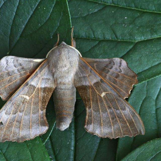 """""""Poplar Hawk-moth, Populierenpijlstaart, Laothoe populi"""" stock image"""