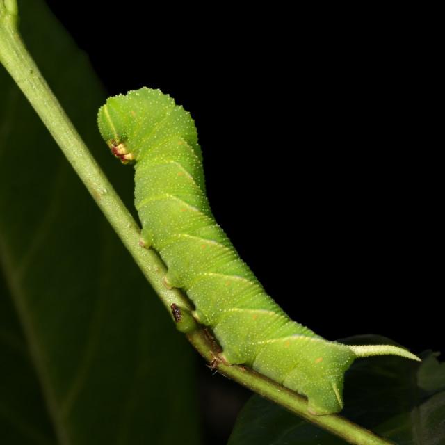 """""""Caterpillar of Privet Hawk-moth, Rups van Ligusterpijlstaart"""" stock image"""