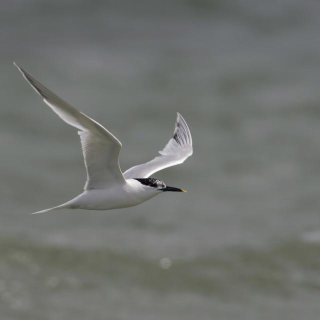"""Grote Stern, Sandwich Tern, Sterna sandvicensis"" stock image"
