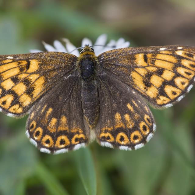 """Sleutelbloemvlinder, Duke of Burgundy Fritillary, Hamearis lucina"" stock image"