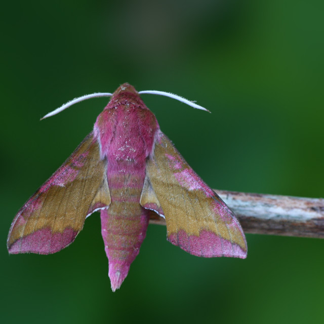 """Small Elephant Hawk-moth, Klein Avondrood, Deilephila porcellus"" stock image"