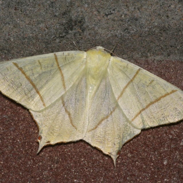 """Swallow-tailed Moth, Vliervlinder, Ourapteryx sambucaria"" stock image"
