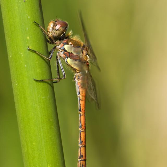 """Common Darter, Bruinrode heidelibel, Sympetrum striolatum"" stock image"