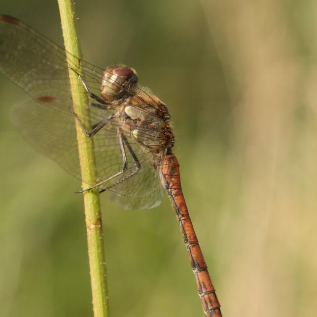 """Bruinrode heidelibel, Common Darter, Sympetrum striolatum"" stock image"