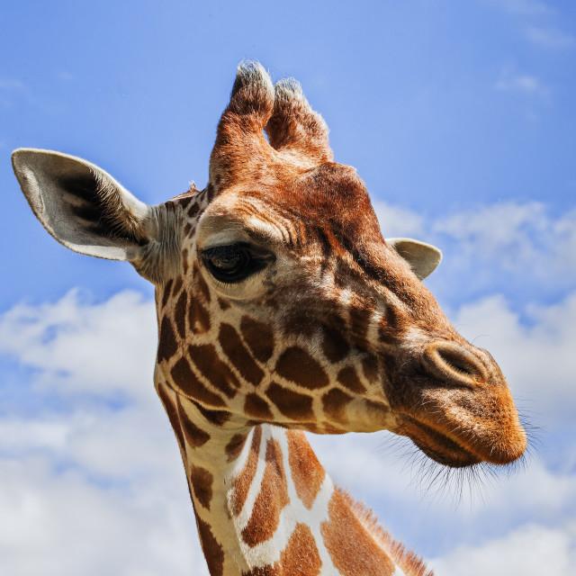 """""""Giraffe's head in the sky"""" stock image"""
