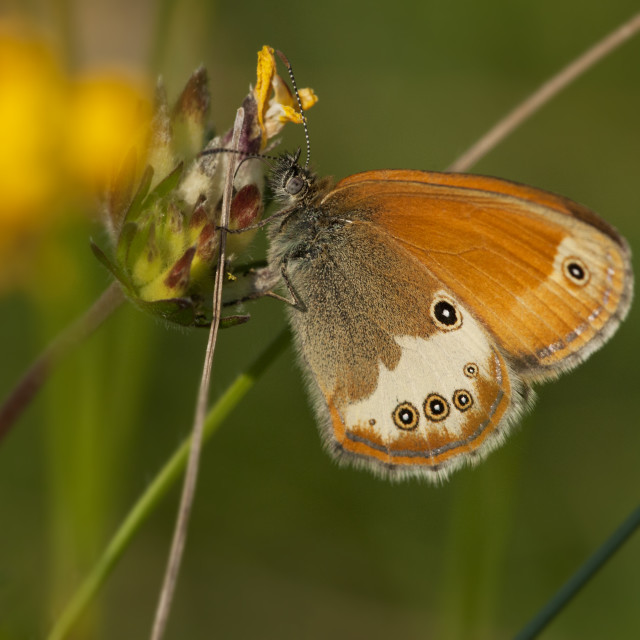 """Tweekleurig hooibeestje, Pearly Heath, Coenonympha arcania"" stock image"