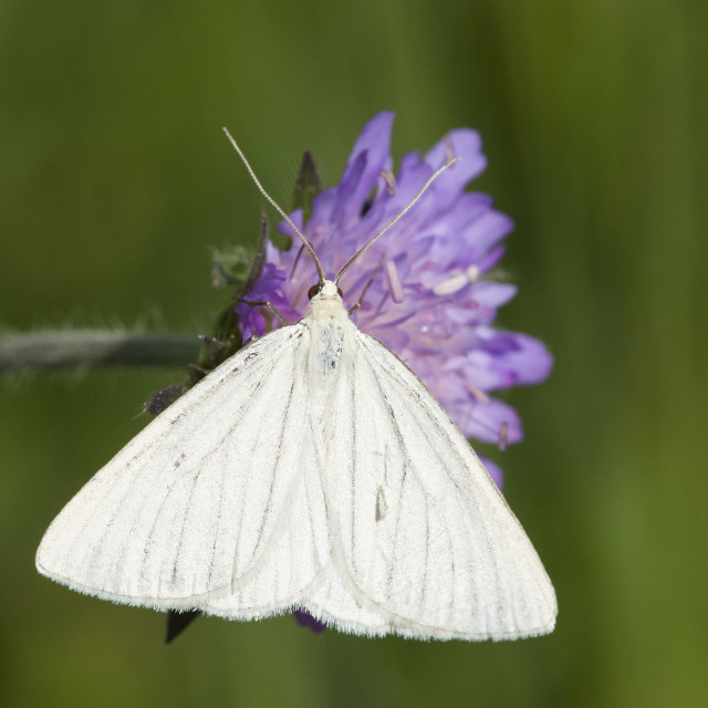 """""""Vals witje, Black-veined Moth, Siona lineata"""" stock image"""