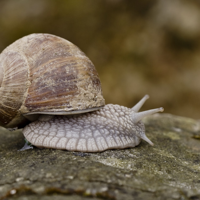 """Wijngaardslak, Burgundy snail, Helix pomatia"" stock image"