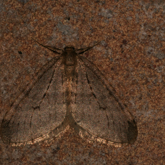 """Winter Moth; Kleine wintervlinder; Operophtera brumata"" stock image"