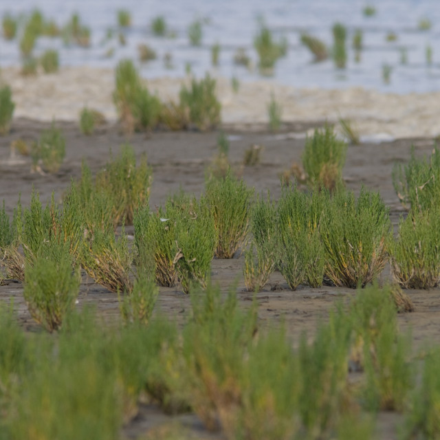 """""""Zeekraal, Glasswort, Salicornia"""" stock image"""