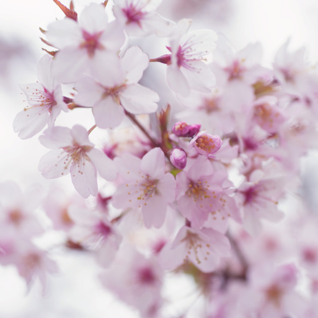 """Light Sakura bloom close up with soft focus"" stock image"