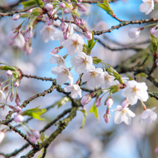 """Spring cherry blossom close up"" stock image"