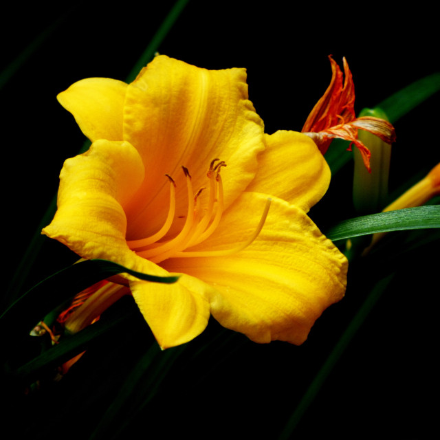 """""""Yellow Lily"""" stock image"""