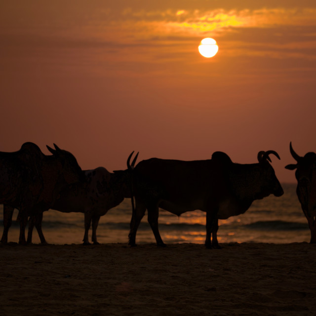 """Cows at Sunset"" stock image"