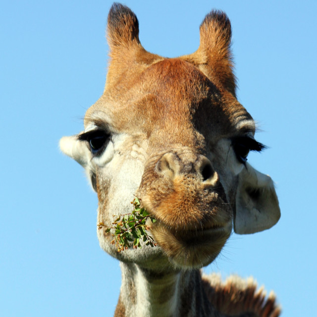 """Young Male Giraffe"" stock image"
