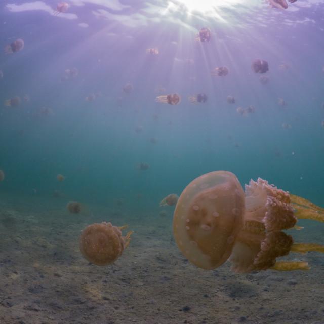 """Spotty Jellyfish - Mastigias papua"" stock image"