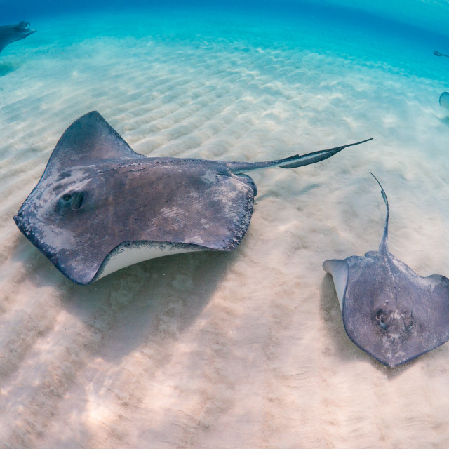 """Southern stingrays"" stock image"