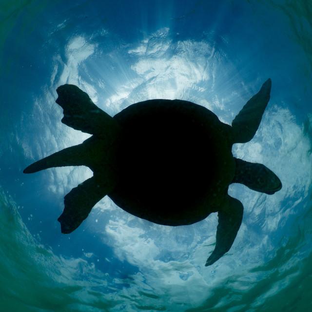 """Turtle Silhouette"" stock image"
