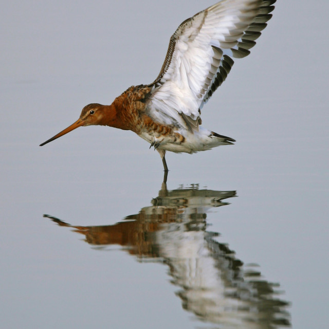 """Grutto, Black-tailed Godwit, Limosa limosa"" stock image"