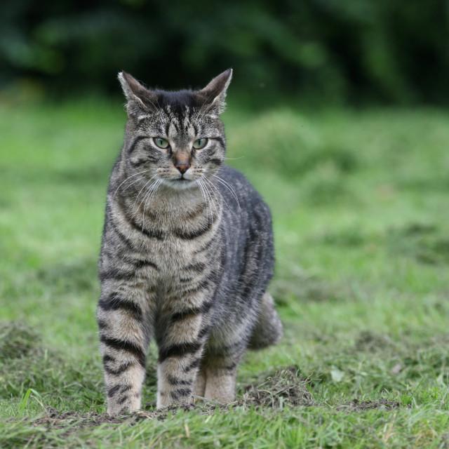 """""""Domestic Cat, Huiskat, Felis catus"""" stock image"""