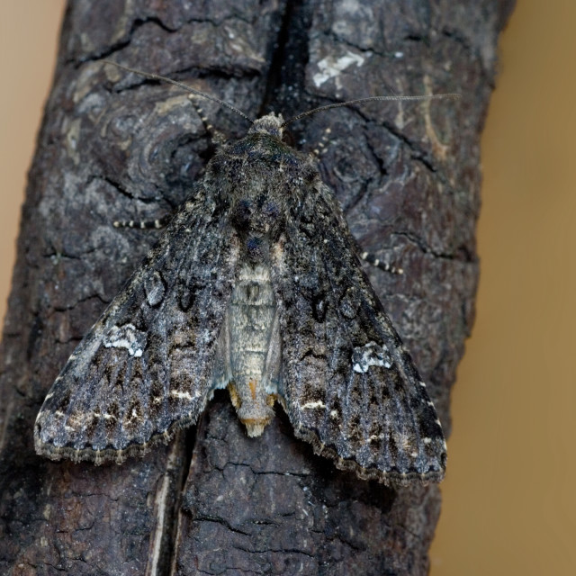 """Perzikkruiduil; Dot Moth; Melanchra persicariae"" stock image"