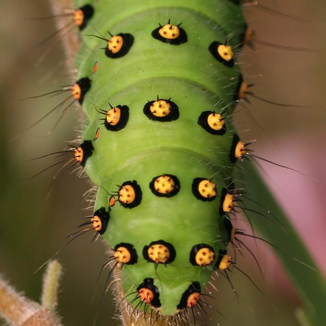 """Kleine nachtpauwoog, Emperor Moth, Saturnia pavonia"" stock image"