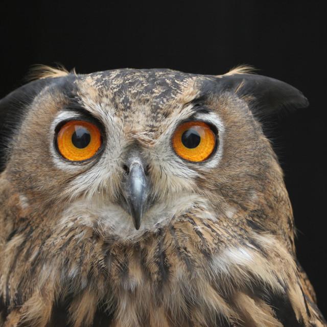 """Oehoe, Eurasian Eagle Owl, Bubo bubo"" stock image"