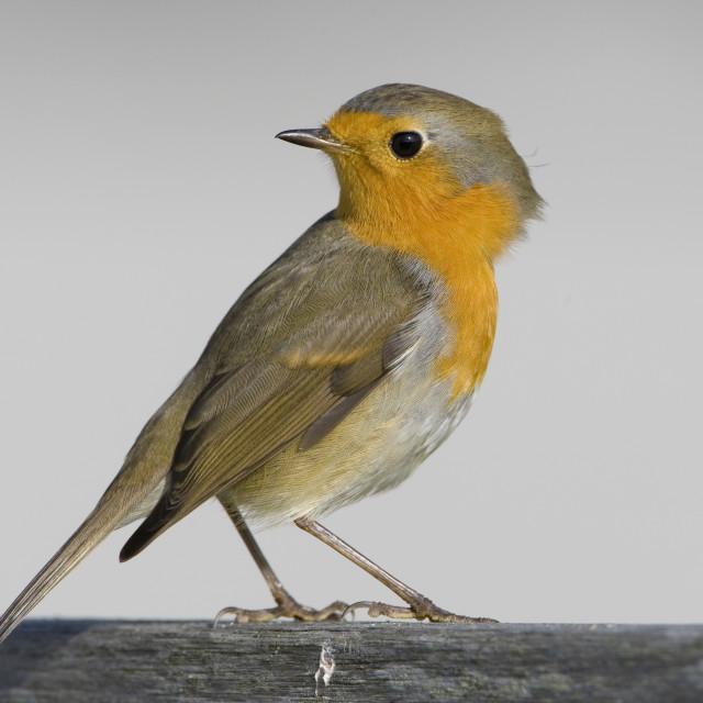 """Roodborst; European Robin; Erithacus rubecula"" stock image"