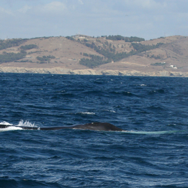 """""""Gewone Vinvis, Fin Whale, Balaenoptera physalus"""" stock image"""