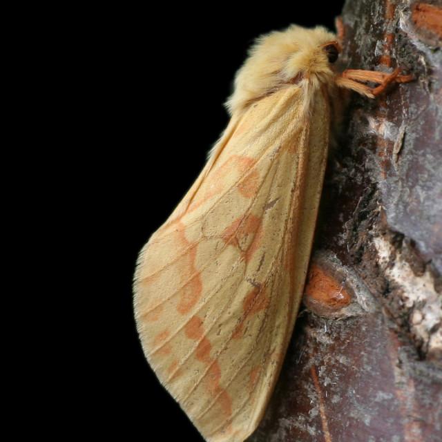 """Hopwortelboorder; Ghost moth; Hepialus humuli"" stock image"