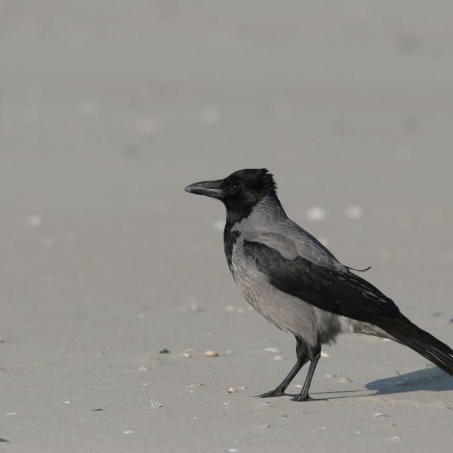 """""""Bonte Kraai, Hooded Crow, Corvus cornix Bonte Kraai, Hooded Crow, Corvus cornix"""" stock image"""