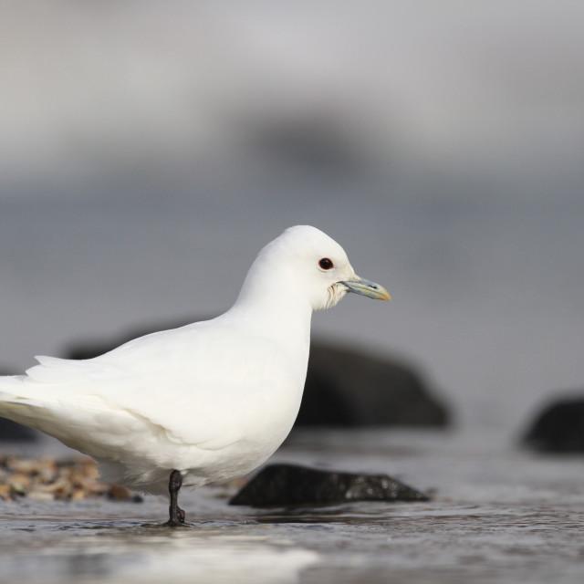 """Ivoormeeuw, Ivory Gull, Pagophila eburnea"" stock image"