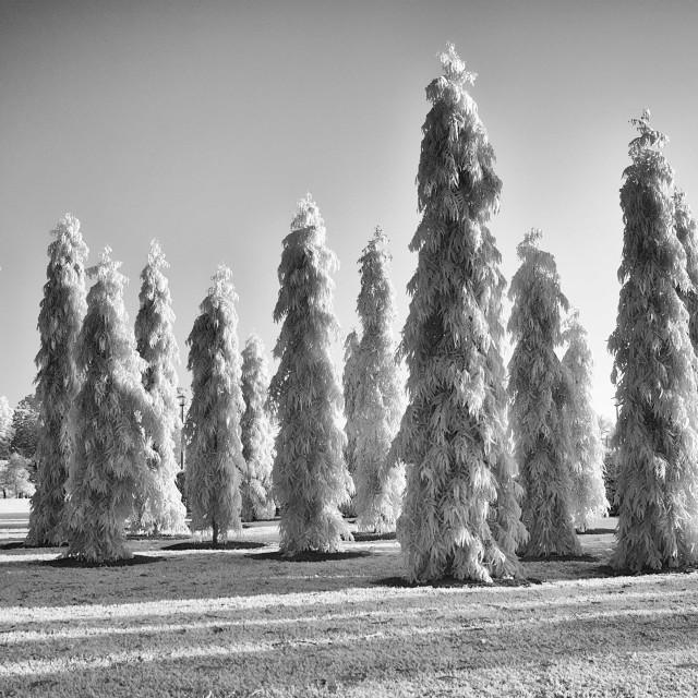 """Asoka Trees"" stock image"