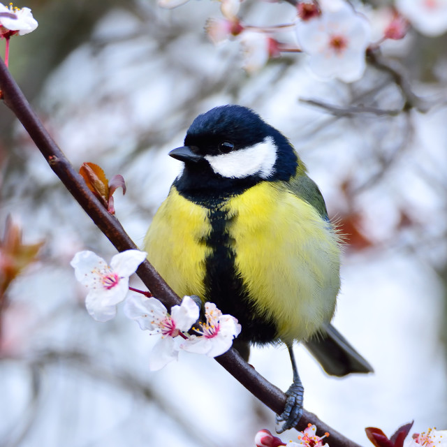 """Tit sitting on flowered branch"" stock image"