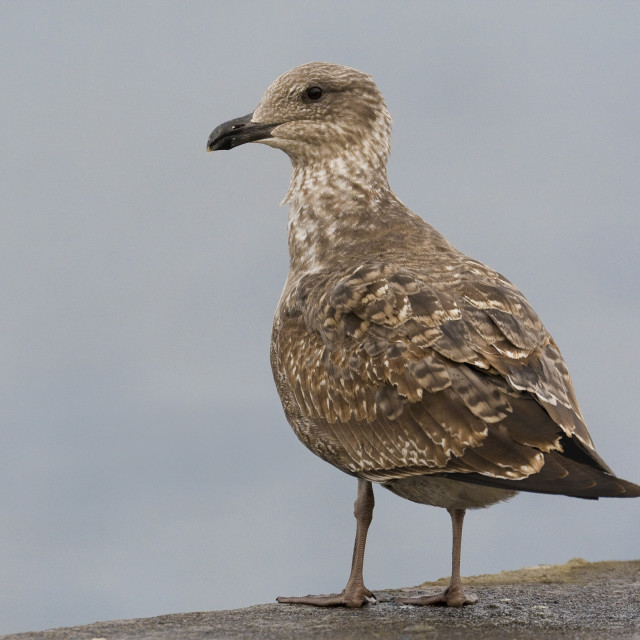 """Gabbiano reale atlantico; Azores Yellow-legged Gull; Larus micha"" stock image"