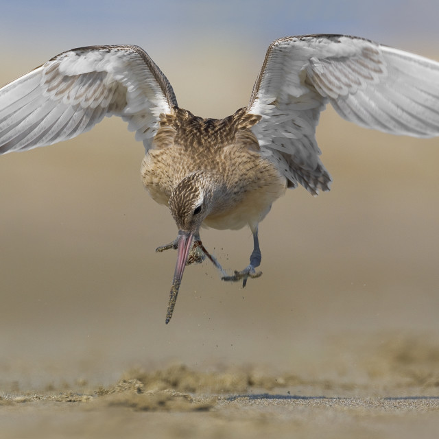 """""""Rosse Grutto, Bar-tailed Godwit, Limosa lapponica,"""" stock image"""