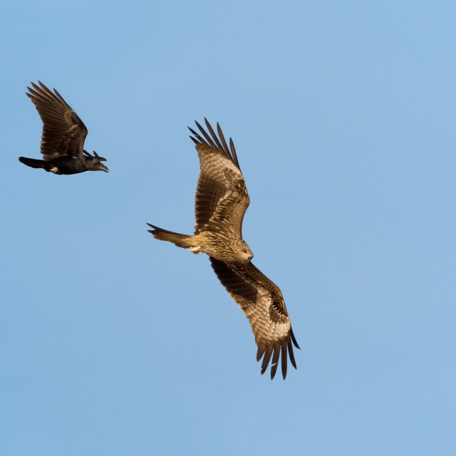 """Nibbio bruno; Black Kite; Milvus migrans; Corvo coda a ventaglio"" stock image"