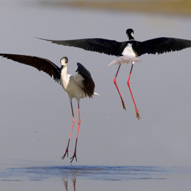"""Steltkluut, Black-winged Stilt, Himantopus himantopus"" stock image"