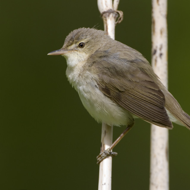 """Cannaiola di Blyth; Blyth's Reed Warbler; Acrococephalus dumetor"" stock image"