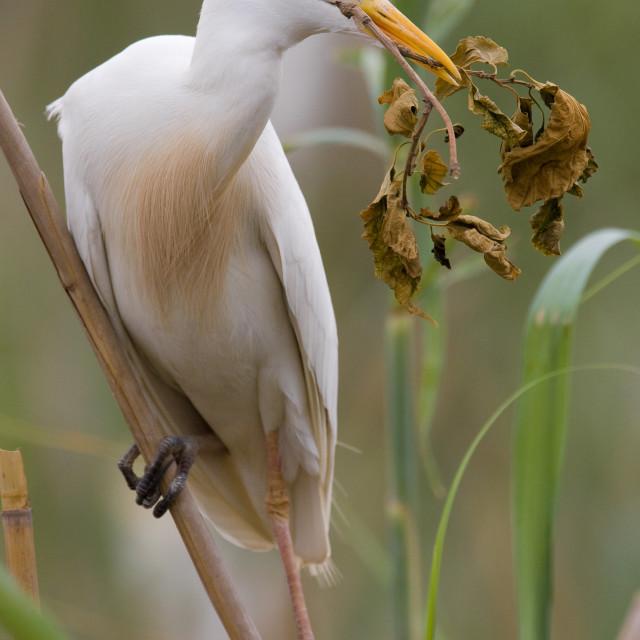 """Airone guardabuoi; Cattle Egret; Bubulcus ibis"" stock image"