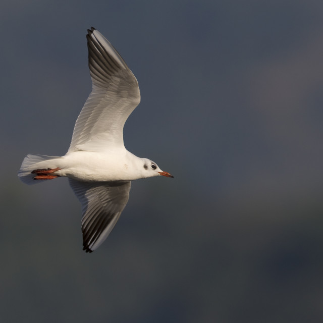 """Kokmeeuw, Common Black-headed Gull; Croicocephalus ridibu"" stock image"