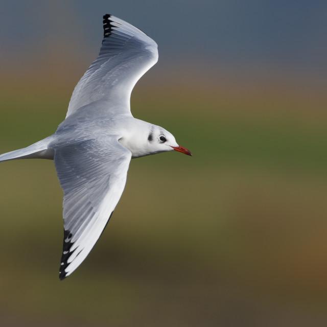 """Kokmeeuw, Common Black-headed Gull; Larus ridibundus"" stock image"