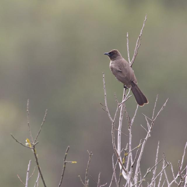 """Grauwe Buulbuul, Common Bulbul, Pycnonotus barbatus"" stock image"