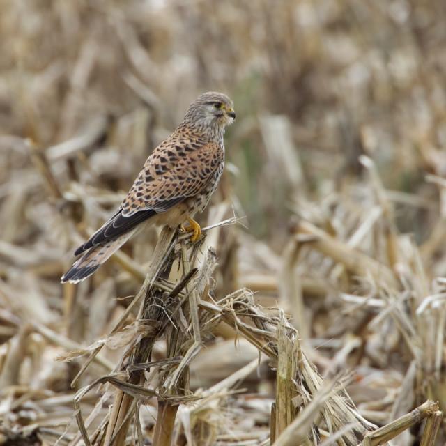 """Common Kestrel, Torenvalk, Falco tinnunculus"" stock image"