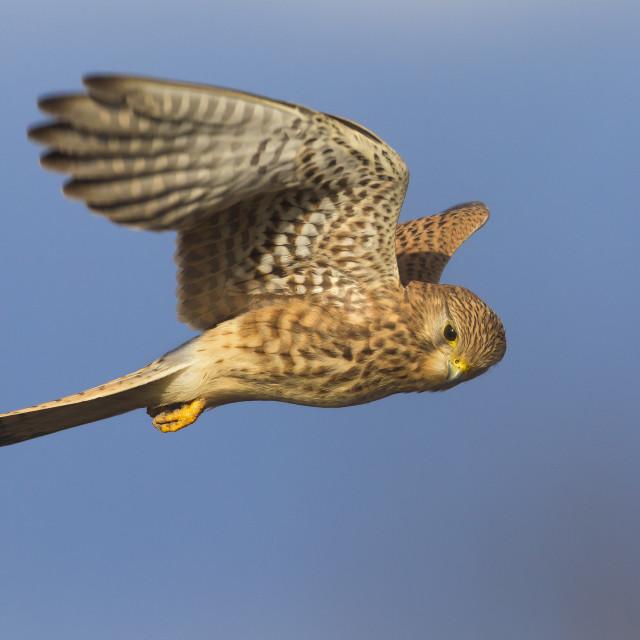 """Gheppio; Kestrel; Falco tinnunculus"" stock image"