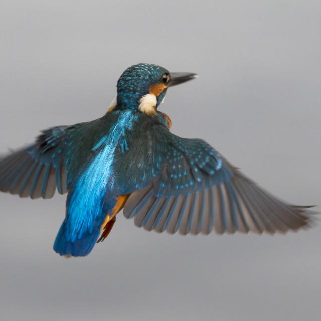 """IJsvogel, Common Kingfisher, Alcedo atthis"" stock image"