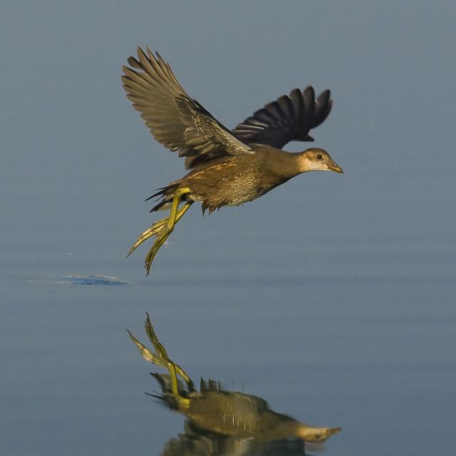 """Waterhoen, Common Moorhen, Gallinula chloropus"" stock image"