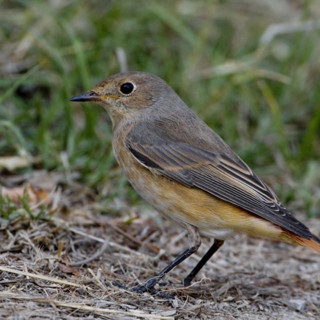 """Gekraagde Roodstaart; Common Redstart; Phoenicurus phoenicurus"" stock image"